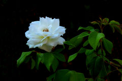 Rosas blancas hermosas en árbol imagen de archivo libre de regalías