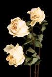 Rosas blancas marchitadas fotos de archivo