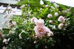 Rosas blancas que crecen en el fasade de la casa Fotos de archivo
