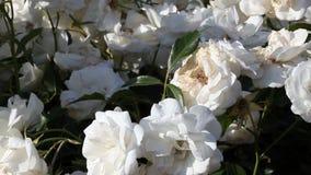 Rosas blancas y hojas del verde que se mueven en brisa apacible metrajes