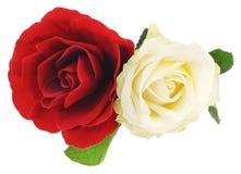 Rosas blancas y rojas Imágenes de archivo libres de regalías