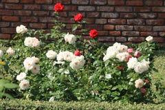 Rosas blancas y rojas en el jardín Foto de archivo libre de regalías