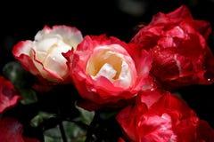 rosas Blanco-rojas Imagen de archivo libre de regalías