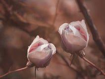 rosas Blanco-rojas en un fondo marrón-rojo después de una lluvia con descensos del agua Primer Fondo floral Imagen de archivo