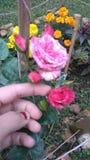 Rosas blomma Fotografering för Bildbyråer