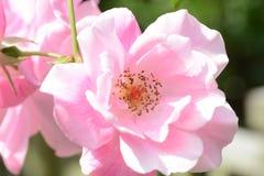Rosas bonitas Foto de Stock Royalty Free