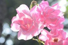 Rosas bonitas Fotografia de Stock Royalty Free