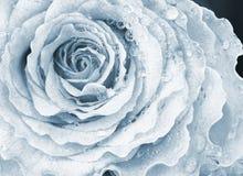 Rosas bonitas Fotos de Stock
