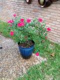 Rosas bonitas imagen de archivo