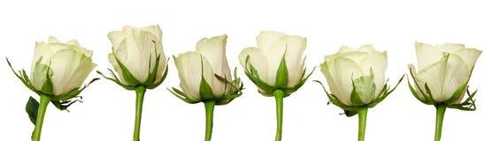 Rosas bonitas ajustadas com gotas da chuva isoladas no fundo branco Imagem de Stock Royalty Free