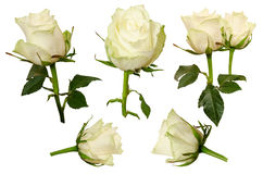 Rosas bonitas ajustadas isoladas no fundo branco Fotografia de Stock Royalty Free