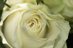 Rosas bonitas como o sol foto de stock