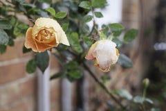 Rosas bonitas do pêssego cobertas na neve e no gelo fotografia de stock