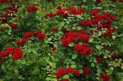 Rosas bonitas do verão no jardim Fotos de Stock