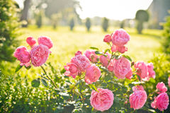 Rosas bonitas em Saint Emilion imagens de stock