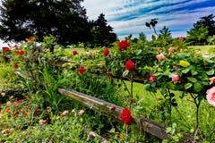 Rosas bonitas em Texas Wooden Fence idoso fotos de stock royalty free