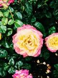 Rosas bonitas na chuva Fotografia de Stock Royalty Free