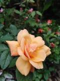 Rosas bonitas na cor amarela, rosas amarelas imagens de stock royalty free