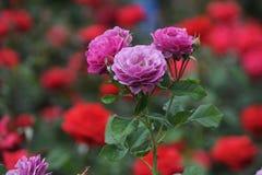 Rosas bonitas na flor em um jardim de rosas local no Mesa, o Arizona Imagem de Stock Royalty Free