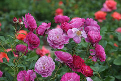 Rosas bonitas na flor em um jardim de rosas local no Mesa, o Arizona Fotografia de Stock Royalty Free