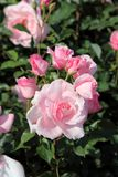 Rosas bonitas no jardim Foto de Stock Royalty Free