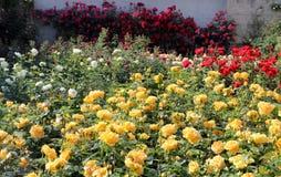 Rosas bonitas no jardim Fotos de Stock Royalty Free