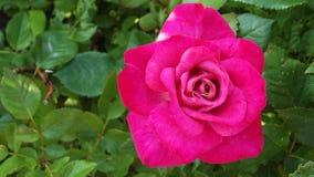 Rosas bonitas no jardim imagens de stock