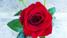 Rosas bonitas no jardim Imagem de Stock