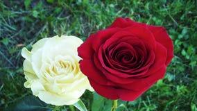 Rosas bonitas no jardim foto de stock