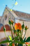 Rosas bonitas no potenciômetro Fotos de Stock