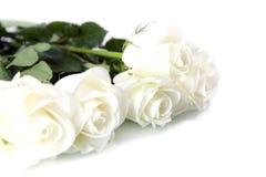 Rosas brancas fotografia de stock royalty free