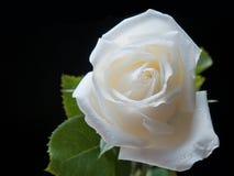 Rosas brancas Imagem de Stock