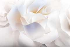 Rosas brancas bonitas no fundo branco. Imagem de Stock Royalty Free