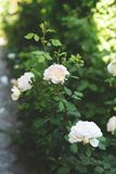 Rosas brancas bonitas no jardim botânico foto de stock