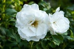 Rosas brancas com os estames amarelos no jardim Foto de Stock Royalty Free