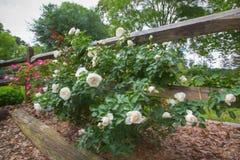 Rosas brancas e cor-de-rosa ao longo da cerca de madeira fotos de stock