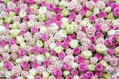 Rosas brancas e cor-de-rosa do fundo das rosas - fotos de stock
