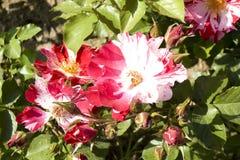Rosas brancas e cores vermelhas Fotografia de Stock Royalty Free