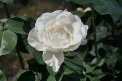 Rosas brancas maravilhosas foto de stock royalty free