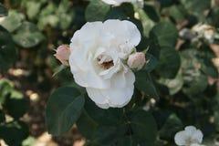 Rosas brancas maravilhosas imagens de stock royalty free