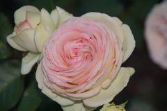 Rosas brancas maravilhosas fotografia de stock