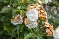 Rosas brancas murchadas no fim do verão Fotos de Stock Royalty Free