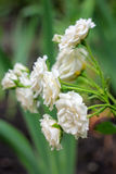 Rosas brancas pequenas Fotos de Stock