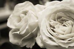 Rosas brancas pretas do jardim imagem de stock