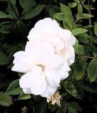 Rosas brancas, Rosa fotos de stock royalty free