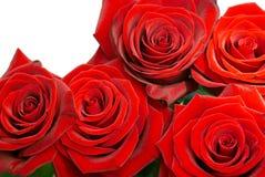 Rosas brilhantemente vermelhas fotografia de stock