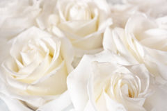 Rosas brilhantes imagem de stock