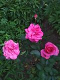 Rosas carmesins luxúrias no jardim imagem de stock royalty free