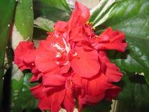 Rosas chinas de la flor Foto de archivo