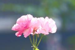Rosas chinesas fotos de stock